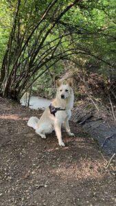 Foto di Willy, il nostro cane bianco, nei pressi di un torrente nel bosco vicino a casa